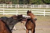 Two foals playing — Fotografia Stock