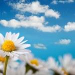 Beautiful daisy and blue sky — Stock Photo