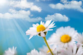 Spring flowers - daisy on blue sky background — Stock Photo
