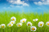 Field of daisy and blue sky on background — Stock Photo