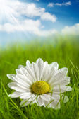 Beautiful flower on summer field — Stock Photo