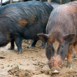 Pigs in a mud - Stock Photo