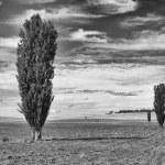 ������, ������: Poplar Trees