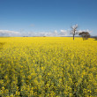 Canola Crop — Stock Photo #7888718