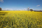 Cultivo de colza — Foto de Stock