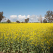 canola crop — Stock Photo