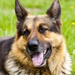 Royalty-Free Stock Photo: German Shepherd Dog