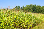 Field of healthy corn. — Stock Photo