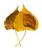 Liść jesień isolated — Zdjęcie stockowe