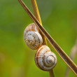 Two snail on green plant — Stock Photo