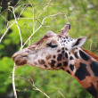 Browsing Giraffe portrait — Stock Photo
