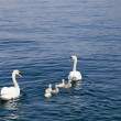 Family of Swans - Stock Photo