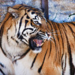 Angry tiger — Stock Photo #7514513