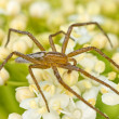 Stock Photo: Wolf spider