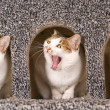 Stock Photo: Cat is yawning continuous action