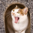 Cat is yawning continuous action — Stock Photo