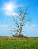 Lonely dry tree on green meadow in summer time — Stock Photo