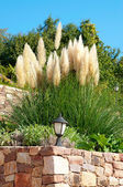 Pampas-grass in the garden — Stock Photo