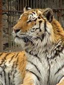 タイガー. — ストック写真