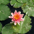 Water lily in a pond - Foto de Stock