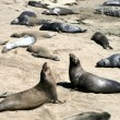 Stock Photo: Elephant seals in California
