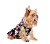 Yorkshire terrier dog in the clothes — Stock Photo