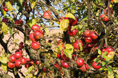 Red and ripe apples on tree in orchard — Stock Photo