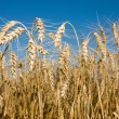Ripe wheat ears on field — Stock Photo