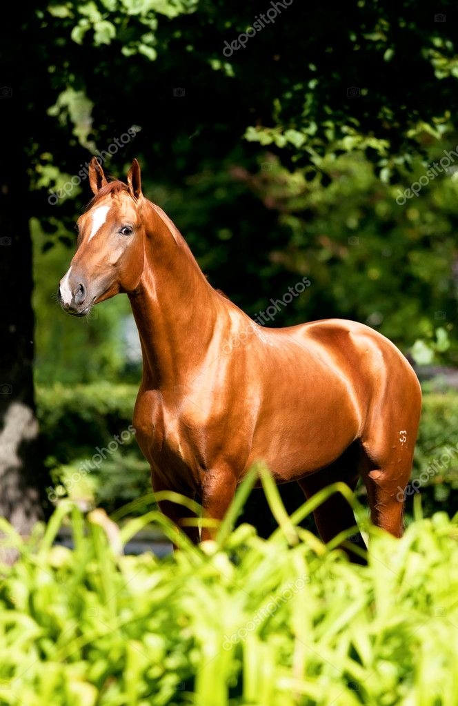 Golden red horse portrait in summer, Don stallion — Stock Photo #6848423