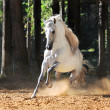 White horse runs gallop in sand - Stock Photo