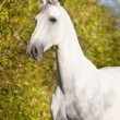 White horse Orlov trotter portrait — Stock Photo #6924548