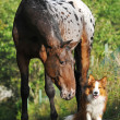 Stock Photo: Appalooshorse portrait in summer and puppy border collie