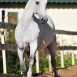 White horse Orlov trotter runs trot — Stock Photo #6924554