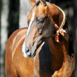 Bay akhal-teke horse portrait — Stock Photo