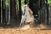 White horse runs gallop in sand — Stock Photo