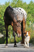 Appaloosa horse portrait in summer and puppy border collie — Stock Photo