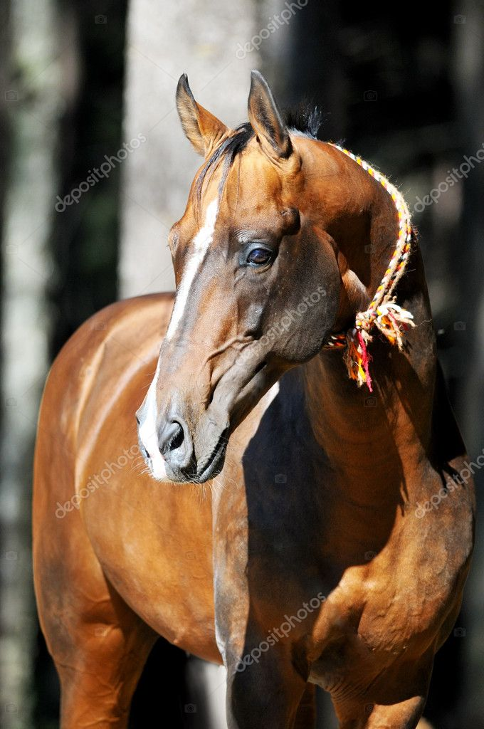 Bay akhal-teke horse portrait — Stock Photo © vikarus #6924557