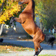 Stock Photo: Arabihorse rearing up on golden autumn background