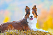 Border collie dog lie on hay in autumn time — Stock Photo