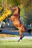 Arabian horse rearing up on golden autumn background — Stock Photo