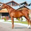 Red arabihorse exterior — Stock Photo #7527087