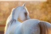 White arabian horse in the sunrise — Stock Photo