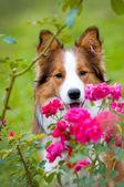Border collie puppy in autumn — Stock Photo