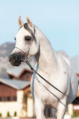 White arabian horse stallion portrait — Stock Photo