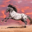 Appaloosa horse play in summer - Stock Photo