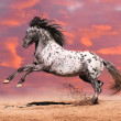 Stock Photo: Appaloosa horse play in summer