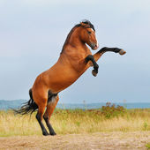 Bay horse rearing up on the meadow — Stock Photo