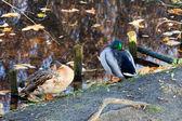 Ducks resting — Stock Photo