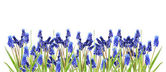 Border with blue hyacinths — Stock Photo