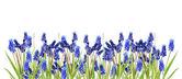 Border with blue hyacinths — Стоковое фото